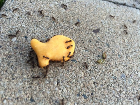 Ants crawling on a gold fish cracker
