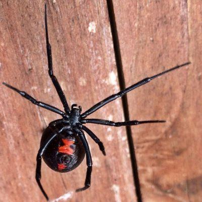 Black widow red spot on abdomen