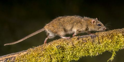 Roof rat crawling across a tree branch